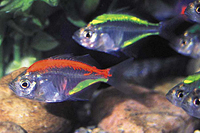 Glass Painted Tetra Fish