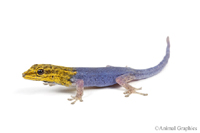 picture of Yellow Headed Dwarf Gecko, MD LYGODACTYLUS LUTEOPICTURATUS