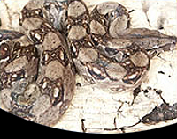 picture of Central American Red Tail Boa, Sm BOA CONS. CONSTRICTOR